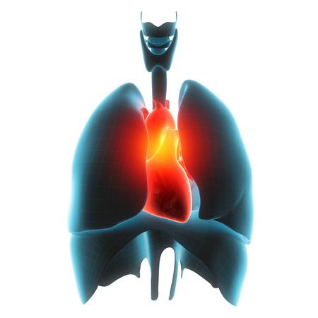 cerebral artery: heart organ pain