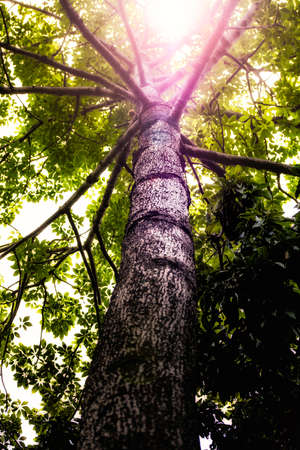 Sun que brilla a través de un árbol alto con Corteza detallada Foto de archivo - 63484449