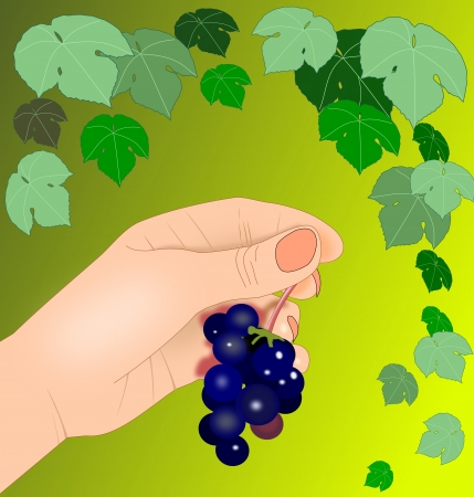 A hand holding a bunch of blue   grapes.  photo
