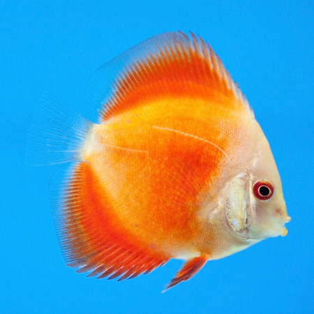 discus: orange discus on a blue background Stock Photo