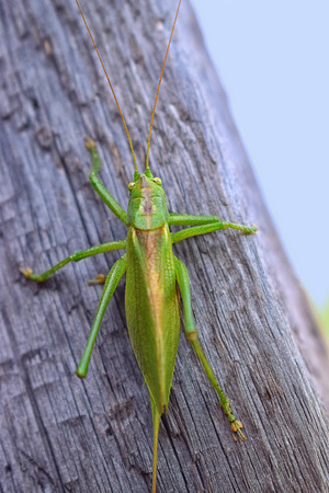Big green grasshopper on the log insect Stok Fotoğraf
