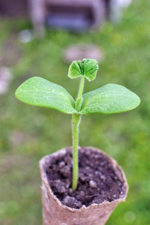 Seedling plants in a pot with soil for planting in the garden in spring nature