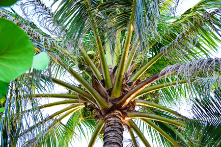 Tall green palm with big leaves with sky background in tropics