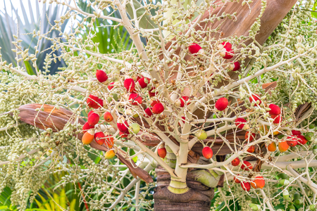 Tropical bush with red fruitage without leaves close-up Imagens