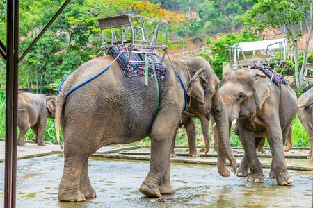 Elephants with saddle on back in triopical park in Vietnam