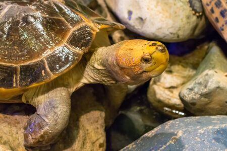 Brown tortoise with big eyes on stones Фото со стока