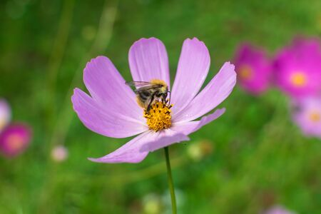 Big beautiful bumblebee on flower with purple petals collects nectar Banco de Imagens