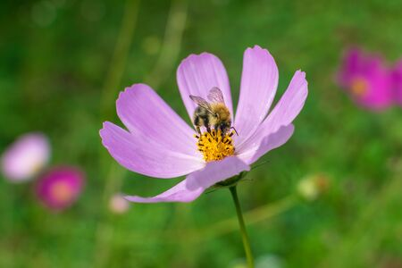 Big beautiful bumblebee on flower with purple petals collects nectar with blurred background