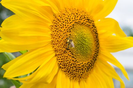 The bee collects nectar on a young yellow sunflower flower with large petals