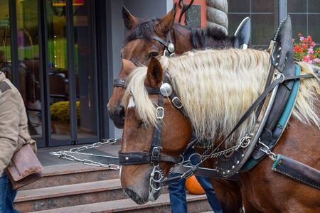 Zwei Pferdeköpfe mit weißer Mähne mit Geschirr Standard-Bild