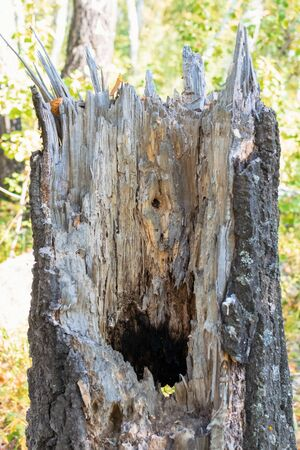 Old tree stump with rotten middle and a hole in the forest 免版税图像