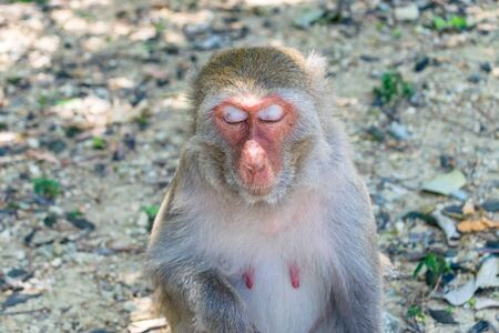 Old sleepy monkey with closed eyes with sun beams on face