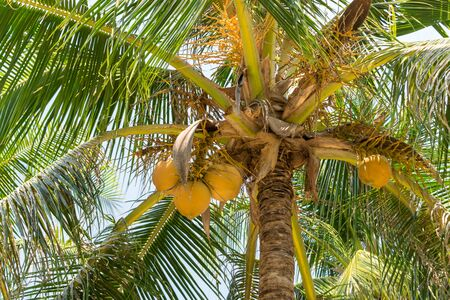 Ripe brown coconuts on palm tree with yellow leaves in the tropics