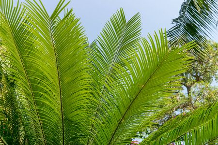 Long green palm leaves against blue sky in the tropics Banco de Imagens