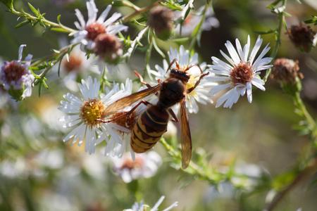 Hornet on white flower Stock Photo