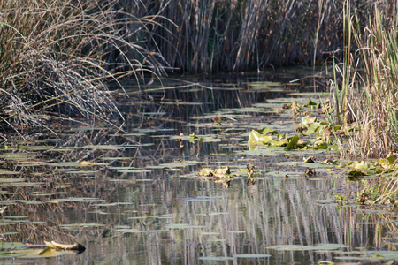 Water lilies on the channel