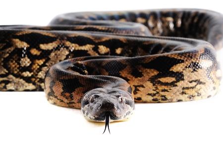python: Pastel snake python reptile wild animal