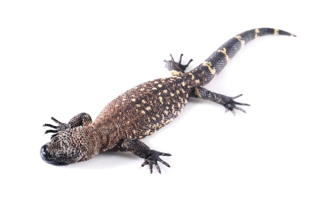 Tiger salamander wild animal in white background
