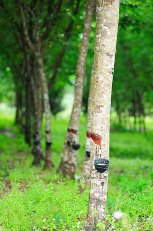 rubber tree Stock Photo - 11625275