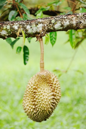 durian fruit photo
