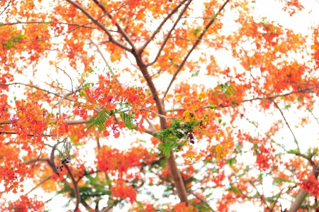 Flame tree in autum photo
