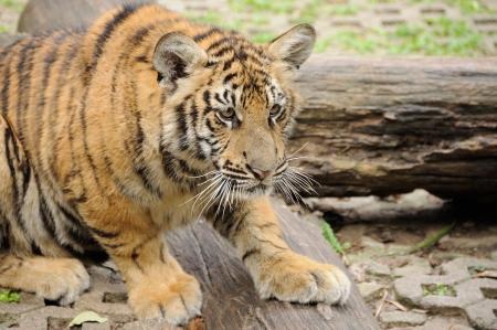 north korea: Tiger in da house