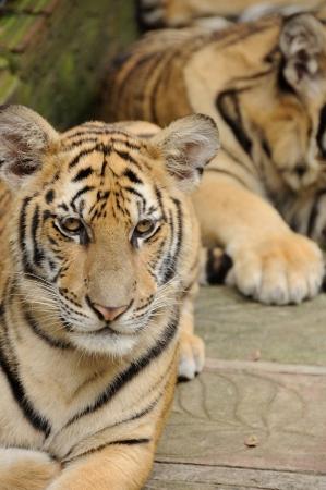 stalking: stalking tiger