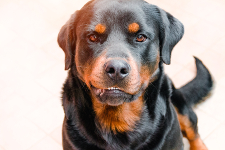 Aggressive dog, Labrador sunlit, rabies in animals Stock Photo