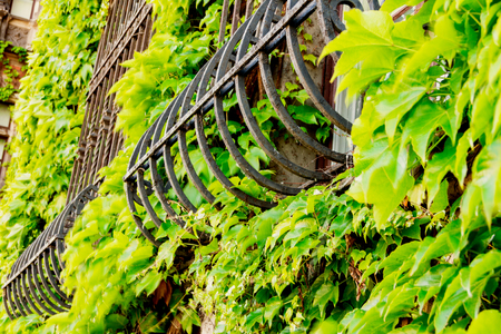 Window lattices were overgrown with trees, beautiful old windows, out of green plants