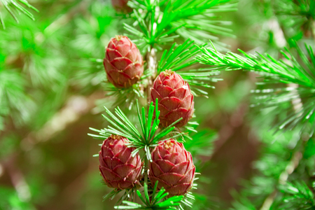 Young cones hanging on a tree branch, beautiful natural background