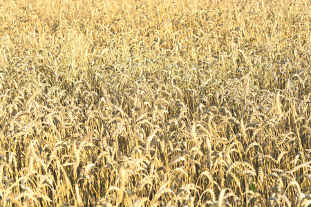 Field of ripe wheat on colorful sunset Stock Photo