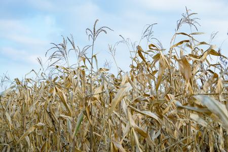 Green corn field at summer evening.
