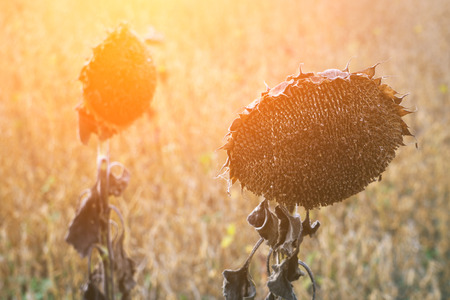 Withered Sunflowers Ripened Dry Sunflowers Ready for Harvesting. Stock Photo