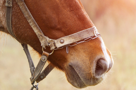 Chestnut foal with white stripe muzzle close up 免版税图像