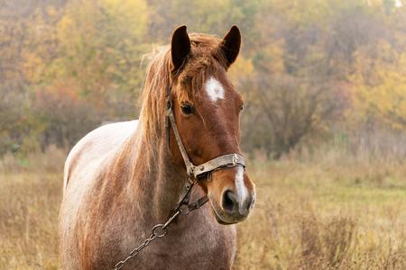 Horse portrait near autumn forest, horse in pasture