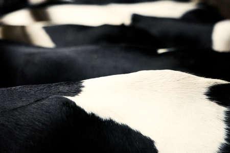 Many cows stand in a row, side view Zdjęcie Seryjne