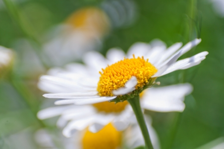 Daisy flowers in green grass, macro, closeup photo