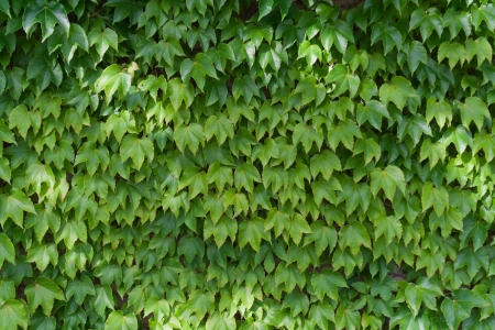 Green ivy leaves, ivy covered wall, horizontal photo