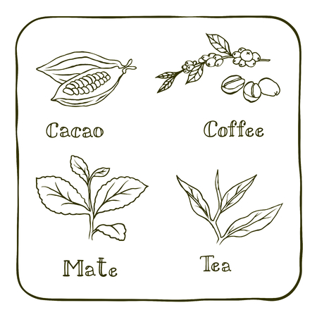green plants: Various herbals used for making popular drinks like coffee, mate, cacao and tea