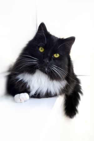 Black-and-white cat resting on white background photo