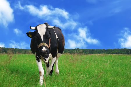 curious cow in a meadow photo