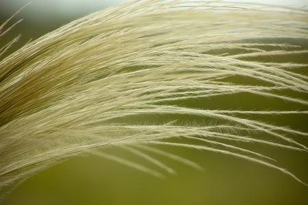 Feather grass, Stipa photo
