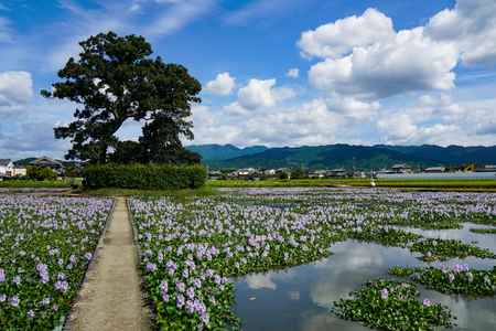 Water hyacinth in this Yakushi-ji Temple