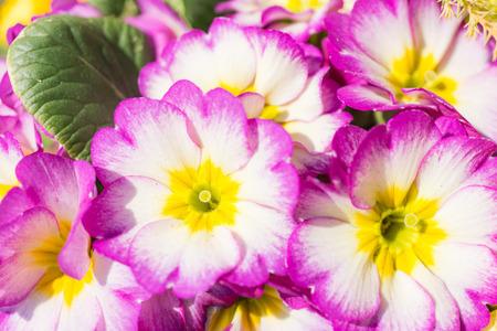 Petals Primula Julian Фото со стока