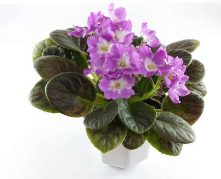 flower pots: Violet flowers in flower pots