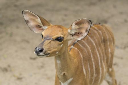 bongo: The bongo (Tragelaphus eurycerus) is among the largest of the African forest antelope species Stock Photo