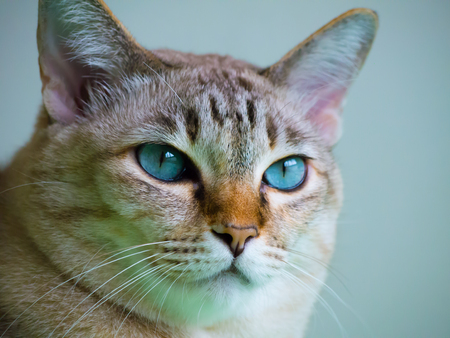 blue eye cat on green bed Stock Photo