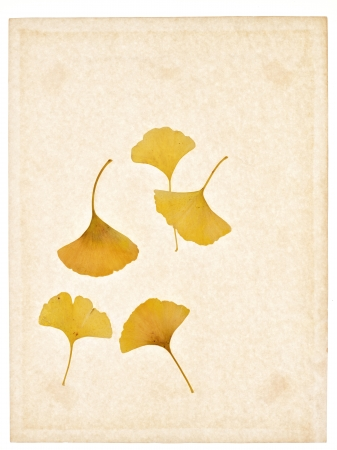 ginkgo yellowish brown dried weathered art autumn leave photo