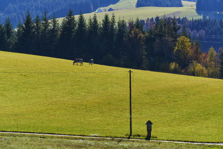 Two cows on meadow at the forest with mountainside and telegraph pole and way in the sone in autumn Stock Photo