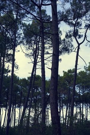 Wald mit Pinien nebeneinander als Silhouette mit Himmel und Wolken                               Stock Photo